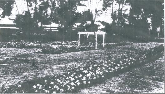 Roses in Stirling Square Guildford.Photograph source  WAN 21.10.1932.p22